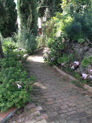 ...and by a path with Amaryllis belladonna in flower
