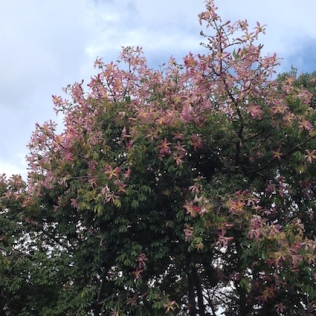 Chorisia speciosa in bloom