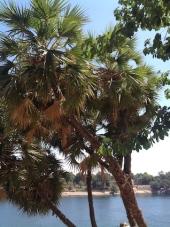 doum-palms