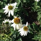 echinacea-whiteswan
