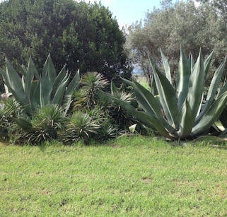 Giant agaves fringe the lawn