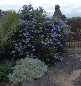 plumbago wows with masses of blue flowers