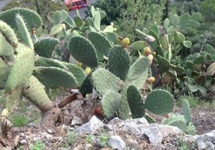 Prickly pears everywhere, on cliffsides...