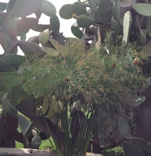 Growing in a water feature at Villasmundo