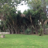 Yucca elephantipes add interest to a corner