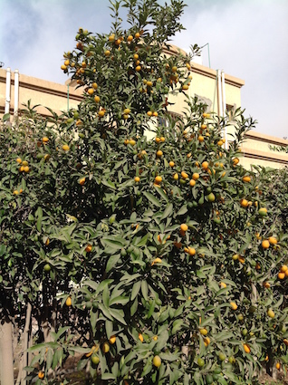 Kumquats like lanterns on the tree
