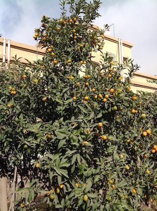 Kumquats like lanterns on the tree