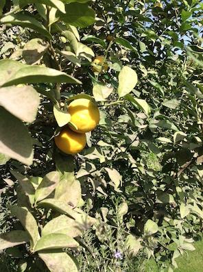Lemons ready for marmalade