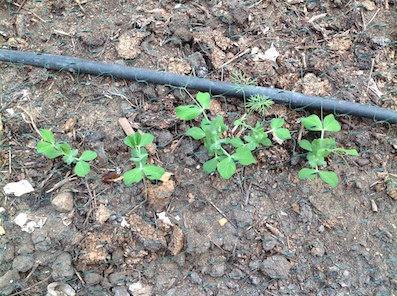 The peas are up and away by now