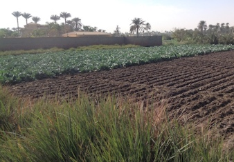 Ploughed field and cabbages