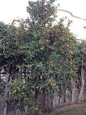 kumquat-tree