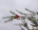 The bottlebrush suddenly flowered again in November