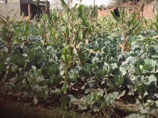 Mixed planting: cabbages and corn