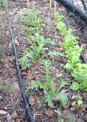 mizuna-and-lettuces