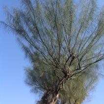 Parkinsonia's green stems