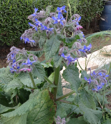 early-borage-2-17