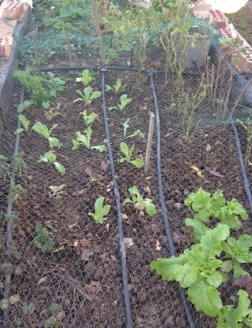 Baby lettuce close to others transplanted from the same pot of seedlings a few weeks back