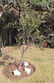 The satsuma tree after treatment