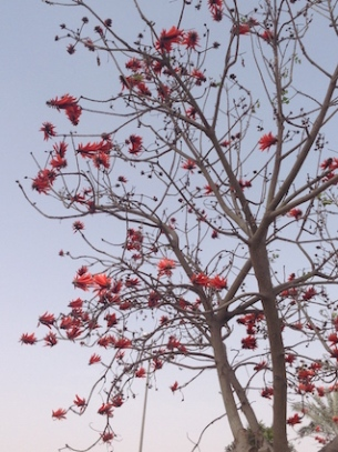 Coral tree 3.17