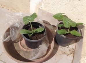Courgette seedlings 3.17