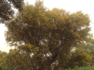 Parkinsonia in flower