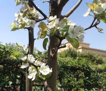 Pear blossom 1