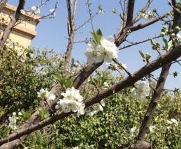 Plum blossom 1