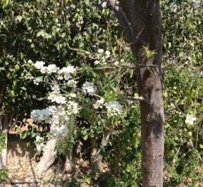 Plum blossom 2