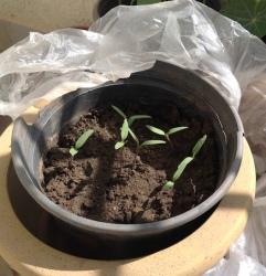Seedlings of Rose de Berne tomatoes