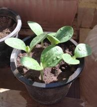 Squash seedlings 3.17