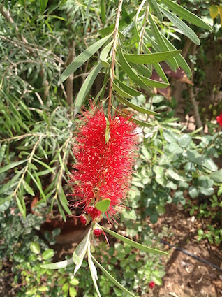 Bottlebrush detail 2