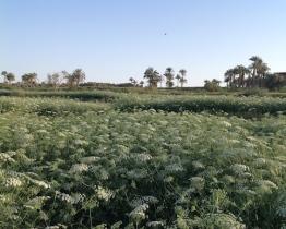 Khella near L Qarun