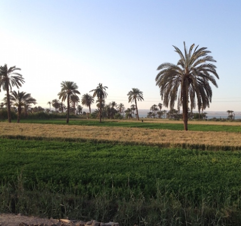 Wheat and berseem fields