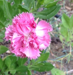 Carnation close-up