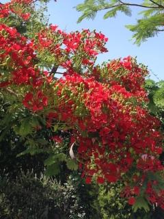 Delonix in flower