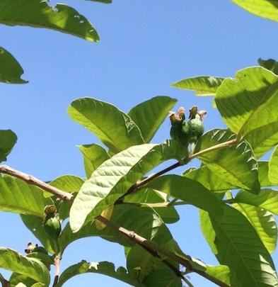 Baby guavas