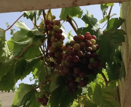 Grapes n the vine