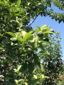 Lemons 6.17