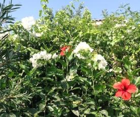 Hibiscus, bougainvillea