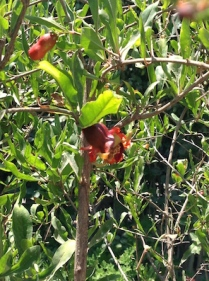Fruit forming 6.17