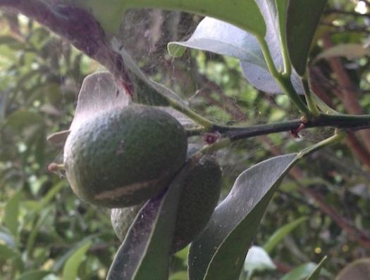 Kumquat 9.17