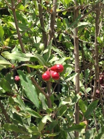 Pomegranate buds