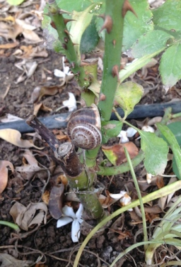 Snail on rose 9.17