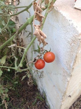 Tomato fest 9.17