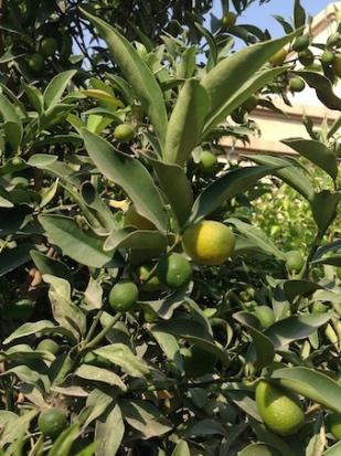 Kumquats 1 10.17
