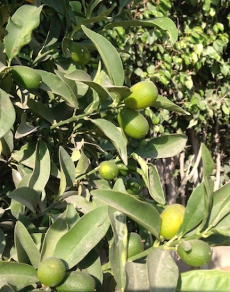 Kumquats 2 10.17