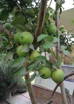 Lemons on tree 10.17