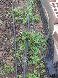RB4 self-seeded parsley 10.17