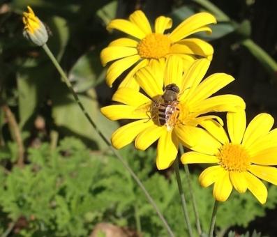 Honey bee in the sun