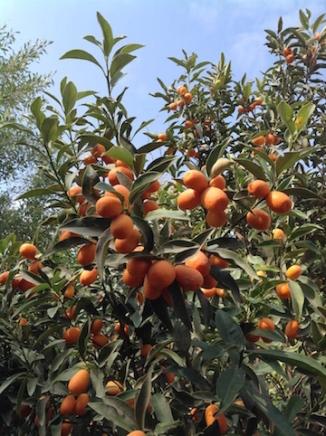 Kumquat fest 2018